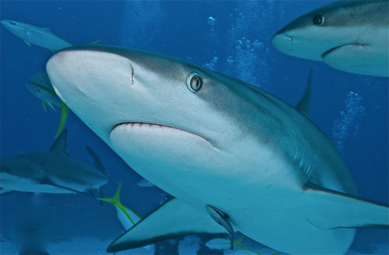 Bahamas Carcharhinus Amblyrhynchos Gray Reef Shark Grey Reef Shark Nassau Schooling Animal Wildlife Animals In The Wild Close-up Fish Group Of Animals Marine Marine Life Nature Portrait Remora Sea Life Shark Swimming UnderSea Underwater Vertebrate Water