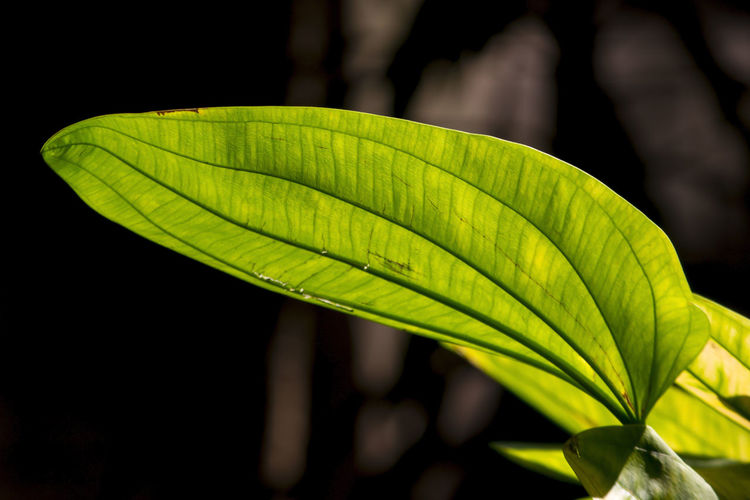 Leaves green, the sun shines through. Beauty In Nature Black Background Botany Close-up Day Focus On Foreground Freshness Green Color Growth Leaf Leaf Vein Leaves Leaves Green Leaves Greenery Natural Pattern Nature No People Outdoors Palm Leaf Pattern Plant Plant Part