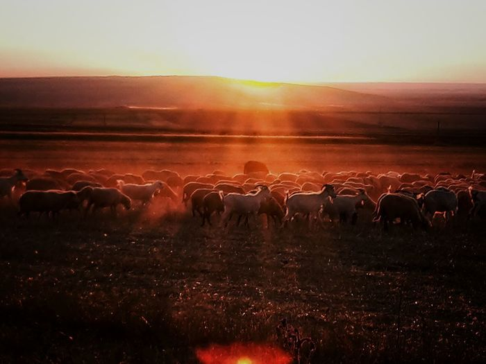 Horses grazing on field against sky during sunset