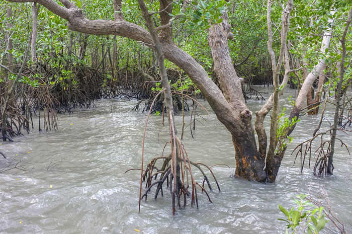 Tide rising in the mangrove. Tree Plant Nature No People Branch Trunk Tree Trunk Water Outdoors Growth Growth In Nature Halophytes Mangroves Mangals Rhizophora Rhizophoraceae Saline Woodlan Tropical Environment Fragile Ecosystem