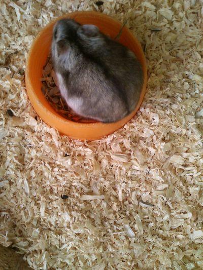 Circle Animal Animal Photography Criceto Hamster Italia Rodent