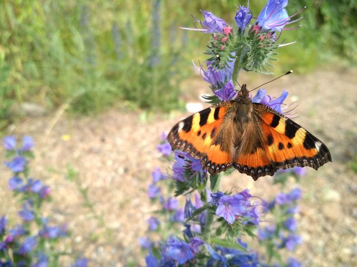 Flower Head Flower Spread Wings Multi Colored Butterfly - Insect Perching Beauty Insect Purple Full Length Butterfly Pollination Wild Animal Lavender Lavender Colored Moth Animal Markings