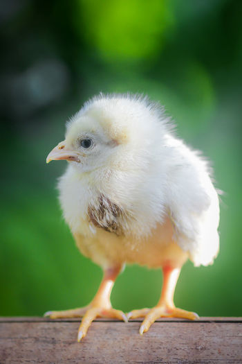 Baby chickens, day old chickens, poultry livestock,