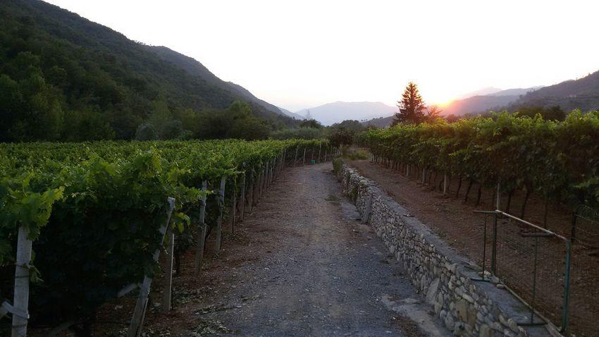 Countryside Sunset Vigna Vigneto Vallearroscia Liguria EyeEm Liguria