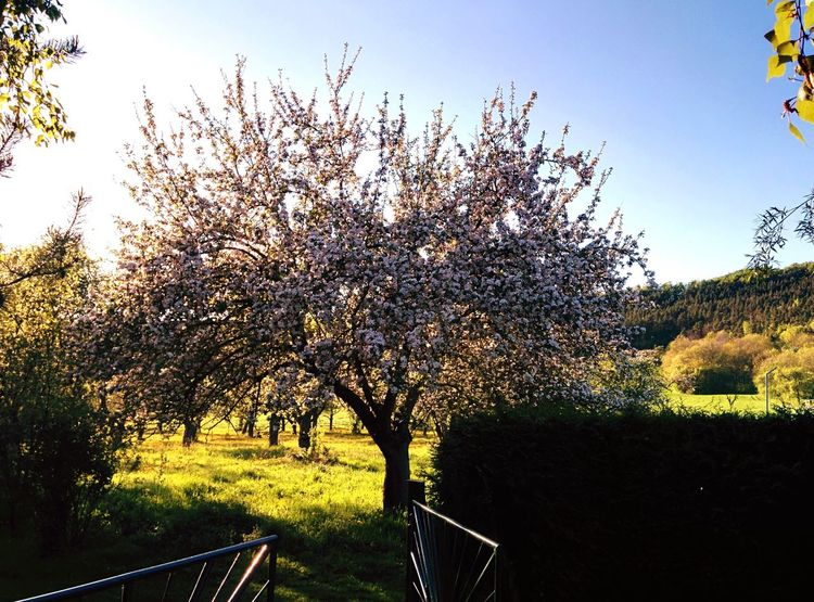 Nature Spring May 2015 Apple Tree