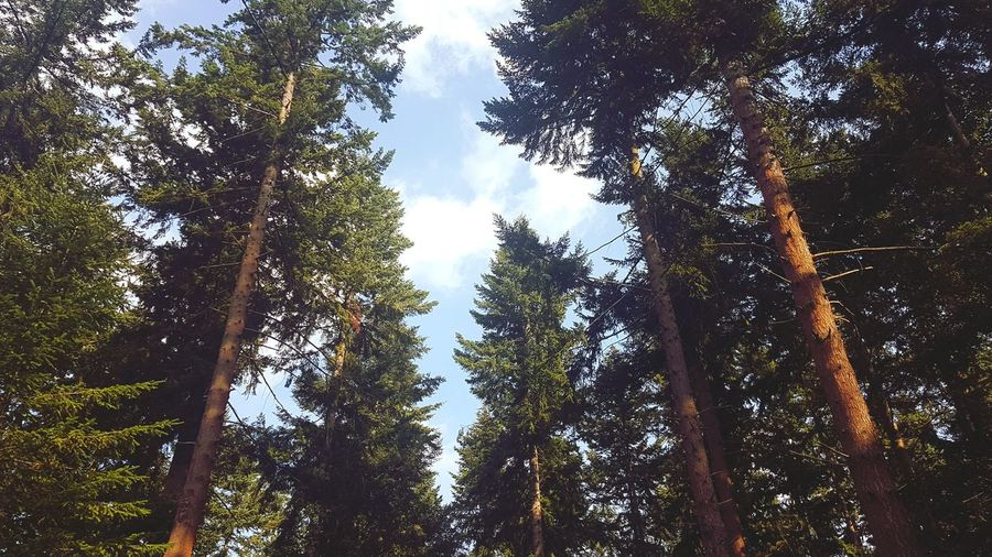 Thetford Thetford Forest Tree Tree Area Forest Branch Tree Trunk WoodLand Sky Green Color Pine Tree Coniferous Tree Fir Tree Evergreen Tree Pine Cone Pine Wood Spruce Tree Treetop Pine Woodland Tree Canopy  Lush - Description Needle - Plant Part
