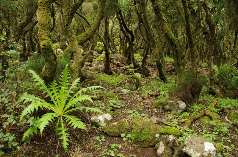 Misty forest in Tenerife, Canary Islands, Spain Beauty In Nature Canary Islands Environment Forest Green Color Landscape Lush Foliage Misty Forest Nature No People Outdoors Tranquil Scene Tree Trunks WoodLand