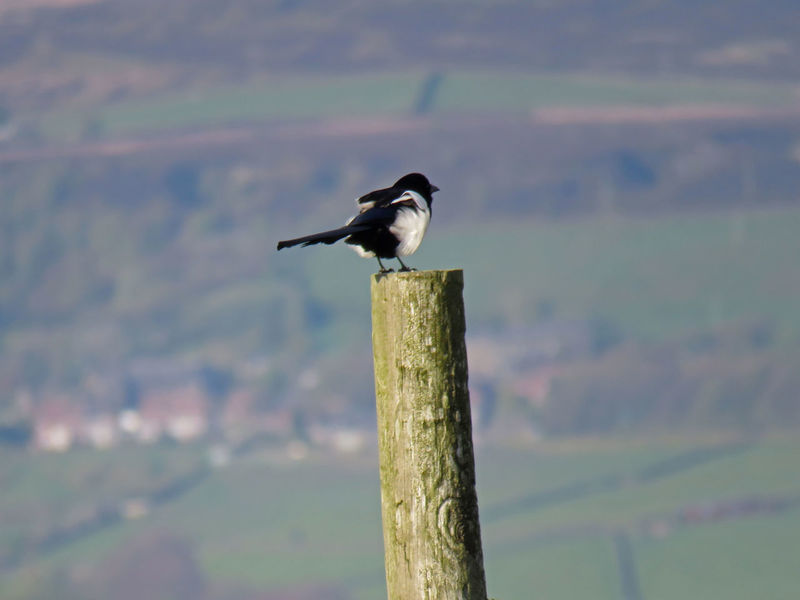 Mr magpie surveys the land Animal Themes Animal Wildlife Animals In The Wild Bird Bird Photography Calderdale Close-up Day Fields Focus On Foreground Hills Hills And Valleys Magpie Nature No People Non-urban Scene One Animal Outdoors Perching Spring Springtime Surveillance Valley Wooden Post Yorkshire