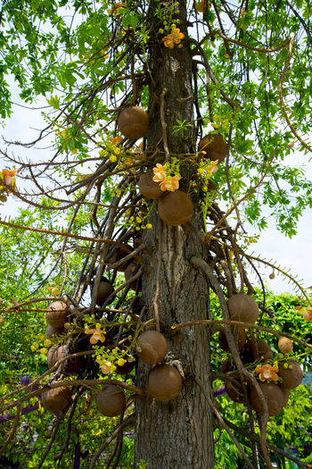 Flowering Cannonball Tree Singapore Cannonball Tree Tree Plant Flowering Plant