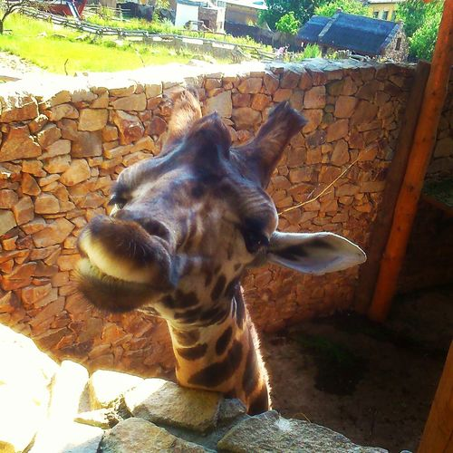 One Animal Animal Themes Sunlight Mammal Day Outdoors Zoo Domestic Animals No People Nature Pets Giraffe Jihlava Zoo Zoophotography Zoo Animals