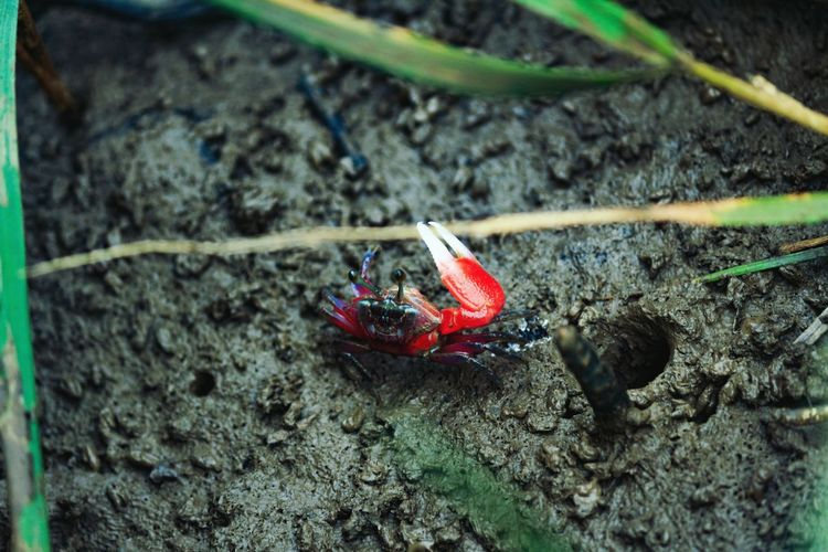 Bright red mating ritual One Animal Animal Themes Animals In The Wild Crustacean No People Outdoors Hermit Crab Nature River Estuary Riverbank Red Crab Claws Vicegrip