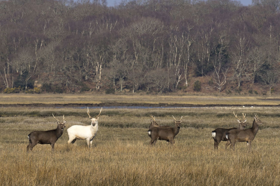A herd of sika deer, including a (fairly) rare white albino male Deer Albino Deer Animal Themes Animal Wildlife Animals In The Wild Beauty In Nature Day Field Grass Nature No People Outdoors Sika Deer
