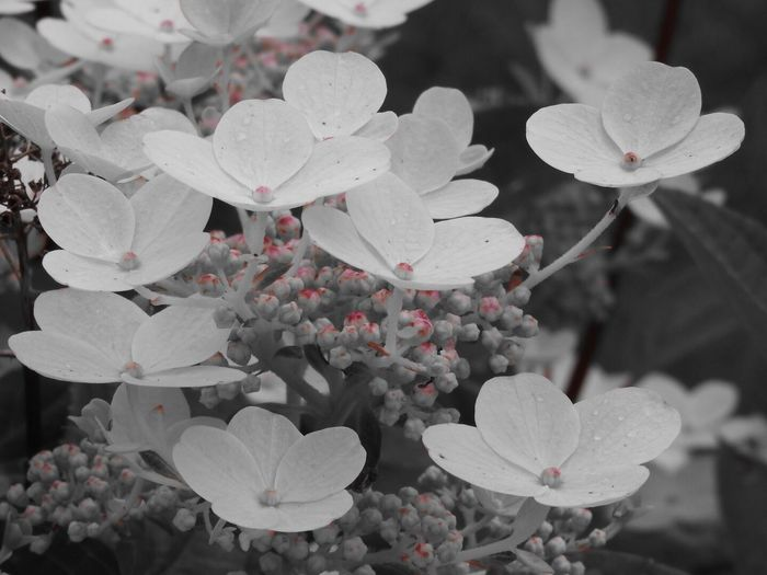 Hydrangeas Hydrangea Hydrangeas White Flowers Garden Nature Tranquility Summer New Selective Color