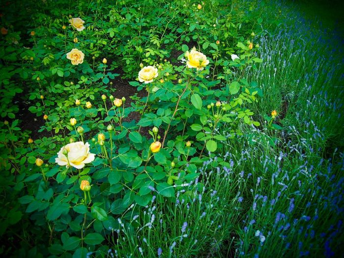 My secret garden Mindfulness Nature Flowers Roses Lavender Plant Flower Flowering Plant Growth Beauty In Nature Nature Green Color Leaf No People Fragility Vulnerability  Tranquility