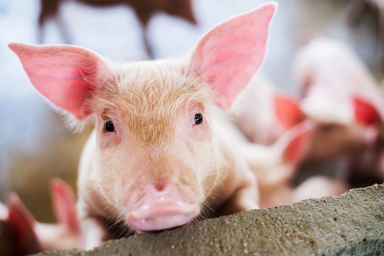 Close-up portrait of piglet