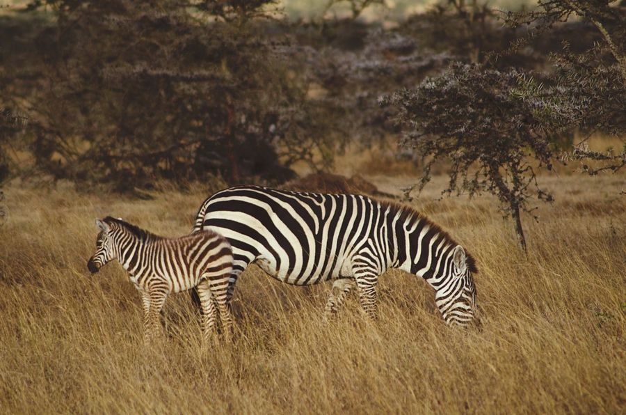Mother and calf Zebra in the savannah Animal Zebra Animal Themes Animals In The Wild Mammal Striped Animal Markings Safari Group Of Animals Outdoors Field Nature