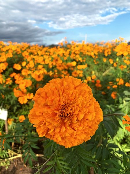 cempasuchil Diademuertos Cempasúchil Flower Flowering Plant Plant Freshness Fragility Beauty In Nature Vulnerability  Growth Flower Head Nature Petal Cloud - Sky Yellow Sky No People Day Close-up