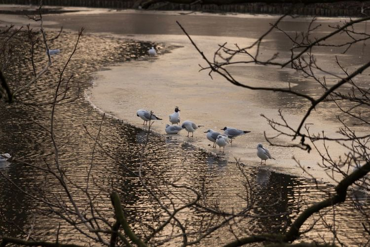 """Seagulls """"chilling"""" on the ice at Rembrandt park Park Lake Frozen Water Frozen Lake Frozen Ice Seagulls Seagull Animals In The Wild Animal Themes Bird Nature Bare Tree Animal Wildlife No People Outdoors Large Group Of Animals Water Day Flock Of Birds Tree Beauty In Nature Branch"""