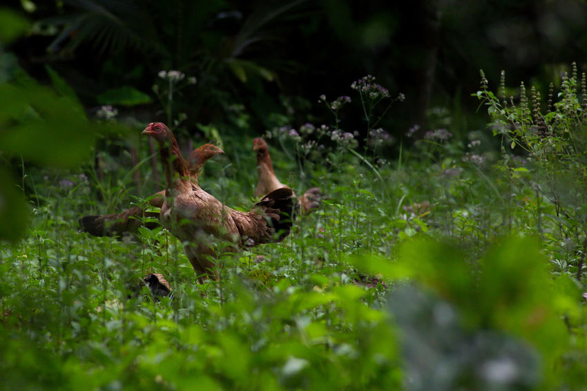 Animal Themes Bird Chiken Grass Green Color Nature No People Outdoors Plant Rooster Roosters Rosta Young Animal Young Bird