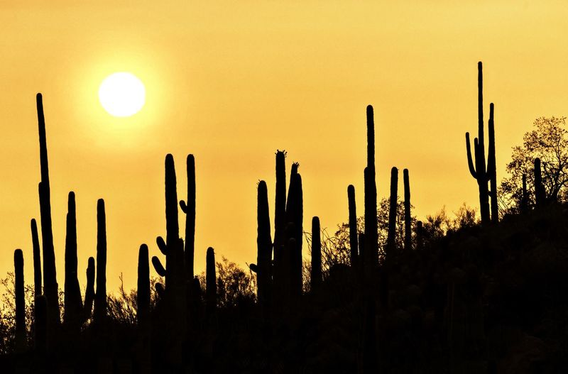 Silhouette cactus growing on field against sky during sunset