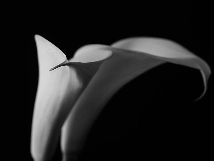 Black Background Studio Shot Flower Close-up Freshness No People Nature Fragility Day
