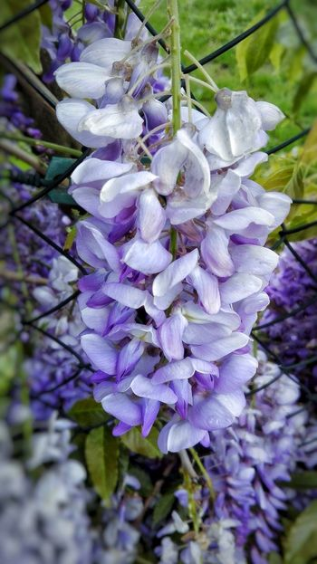 Beauty In Nature Flower Fragility Nature Growth Freshness Day Purple No People Springtime Plant Blossom Petal Outdoors Branch Hanging Scented Close-up Flower Head Tree