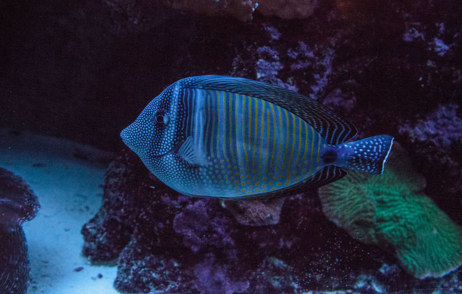 Sailfin tang Zebrasoma veliferum swims through a coral reef. Black Sailfin Tang Sailfin Tang Zebrasoma Veliferum Animal Animal Themes Animal Wildlife Animals In The Wild Fish Fish Tank Marine Marine Fish No People Sea Sea Life Swimming UnderSea Underwater Vertebrate Water