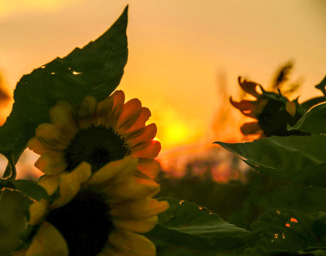 Sunsets and Sunflowers Flower Fragility Freshness Sunset Beauty In Nature Yellow Vibrant Color Sunflower In Bloom Canada Coast To Coast Ontario, Canada Close-up Countryside Outdoor Photography Nikon D7000 Nikon Photography Field Tranquility Beauty In Nature London Ontario Dramatic Sky Taking Photos Tranquil Scene Nikon Life Outdoors