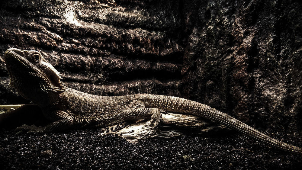 The Vril. Reptile Vril Manila Manila Ocean Park, Philippines Photo Photoshop Photoshop Express App. Close-up No People Backgrounds Acerphotography Nature Life Flatearth Dark Godzilla Welcome To Black EyeEmNewHere