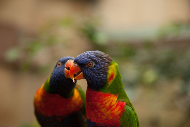 Love Animal Animal Body Part Animal Themes Animal Wildlife Animals In The Wild Bird Close-up Day Focus On Foreground Group Of Animals Lorakeet Love Multi Colored Nature No People Outdoors Parrot Rainbow Lorikeet Togetherness Two Animals Vertebrate