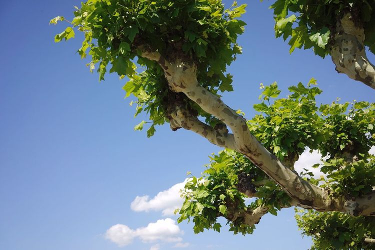 Tree Plant Sky Low Angle View Nature Plant Part Leaf Growth Day No People Branch Green Color Beauty In Nature Outdoors Blue Sunlight Cloud - Sky Tranquility