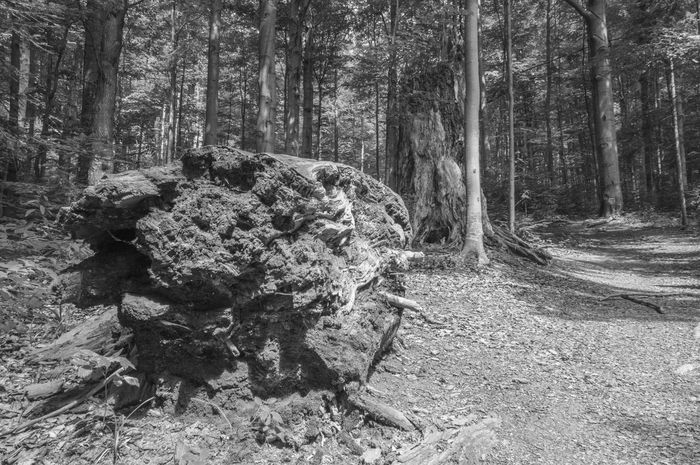 Huge old fallen beech tree at Stužica, Nová Sedlica, Slovakia Alive  Beauty In Nature Beech Forest BIG Black & White Black And White Blackandwhite Broken Contrast Day Dead Fallen Forest Karpaty National Park Nature No People Old Outdoors Slovakia Stužica Things I Like Tree Tree Trunk Young Adult