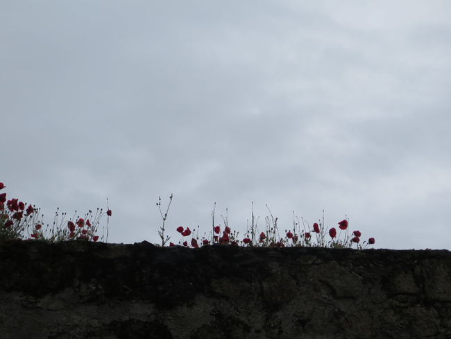 Nature No People Sky Cloud - Sky Outdoors Day Flower Beauty In Nature Popies Skyline Ruins Nature