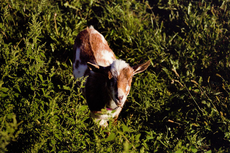 Animal Themes Day Domestic Animals Film Film Is Not Dead Film Photography Grass Livestock Mammal Nature No People One Animal Outdoors Sunlight