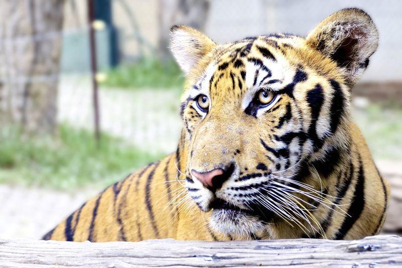 Tiger Tigers