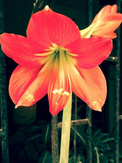 Nature Leaf Red Freshness Beauty In Nature Flower Pollen Stigma Corolla Red Lily Red Flower Mobilephotography
