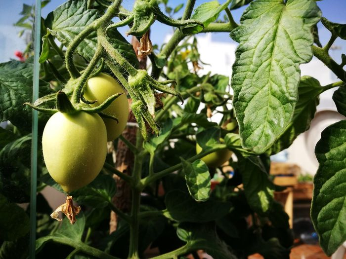 Fruit Tree Growth Green Color Nature Healthy Eating Agriculture Food Tomato Tomato Plant Tomatoes