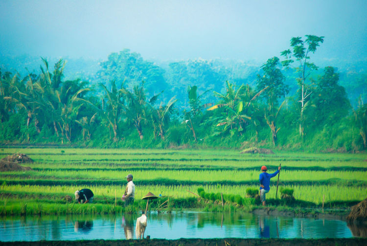 farmers Farm Farmer Agriculture Water Landscape Green Color Growth Nature Rice Paddy Working Outdoors Farm Worker Rice - Cereal Plant
