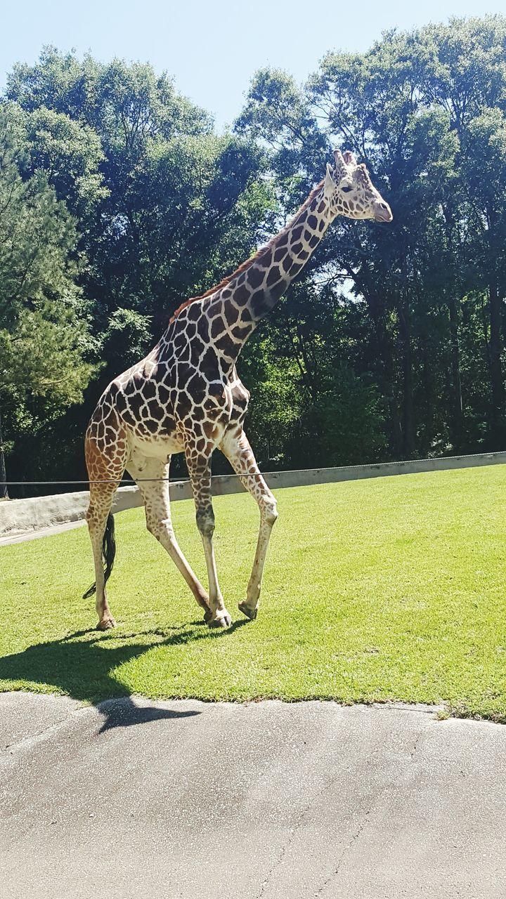 tree, animals in the wild, grass, animal themes, one animal, day, mammal, animal wildlife, animal markings, green color, outdoors, walking, side view, safari animals, nature, growth, sunlight, standing, full length, no people, sky