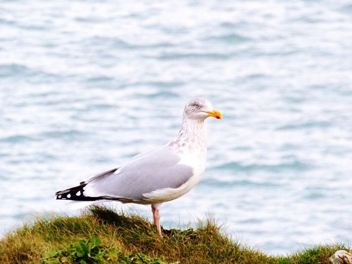Cornish Seagull Patrol Little Fistral Fistral Beach Cornwall Uk Cornwall Explore Passion Camera Ocean Sky Sea Bird Comment Follow Advice Help EyeEmNewHere Newquay Gul Nature No People Perching Outdoors Beak Seagull Beauty In Nature Close-up Sky