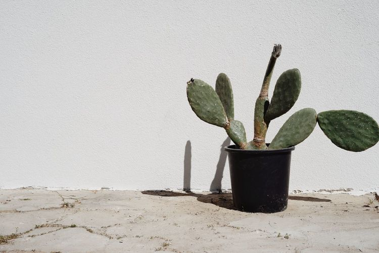 Close-up of cactus in pot against wall
