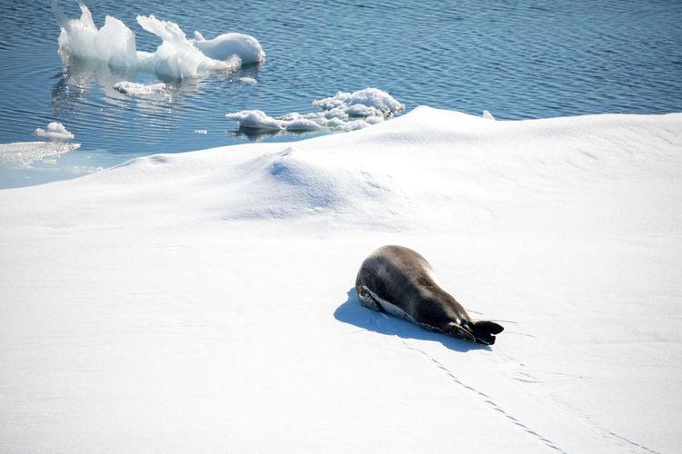 High angle view of seal on snow