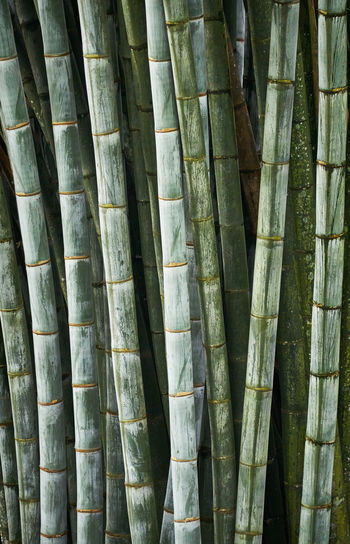 Full frame shot of bamboo plants