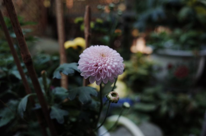 Gr2 Flower Growth Nature Focus On Foreground Flower Head Beauty In Nature Petal