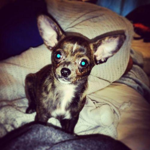 Cutest Dog Ever Florida Ft Lauderdale Chiwawa