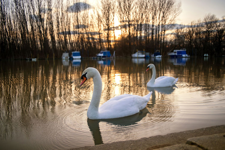 Swans couple in