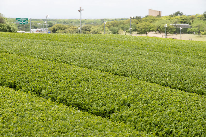 landscape of green tea field at Osulloc in Jeju Island, South Korea Agriculture Beauty In Nature Crop  Day Field Focus On Foreground Freshness Grass Green Color Green Tea Field Growth JEJU ISLAND  Landscape Nature No People Osulloc Outdoors Rural Scene