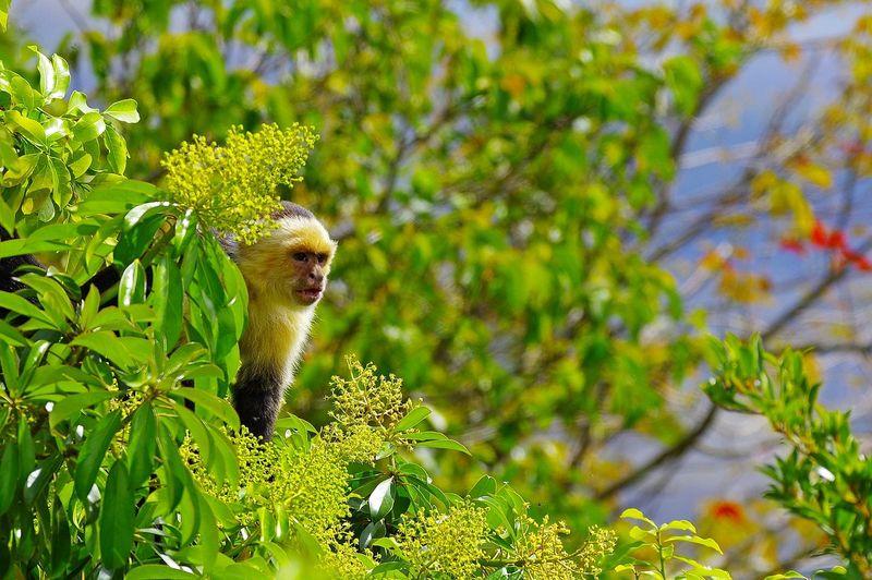 Sapajou Capucin White-Faced Capuchin Animal Themes Animal Wildlife Animals In The Wild Capucin à Face Blanche Cebus Capucinus Mammal Monkey Mono Mono Carablanca Nature One Animal Singe White-Faced Capuchin White-headed Capuchin