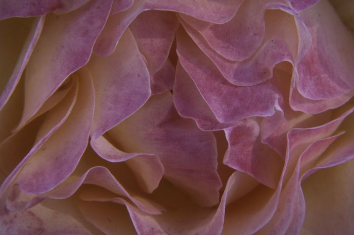 Huntington Library D5500 Macro Full Frame Petal Backgrounds Flower Fragility Close-up No People