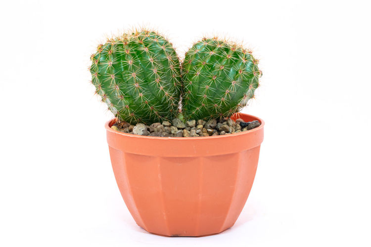 Close-up of potted cactus plant against white background